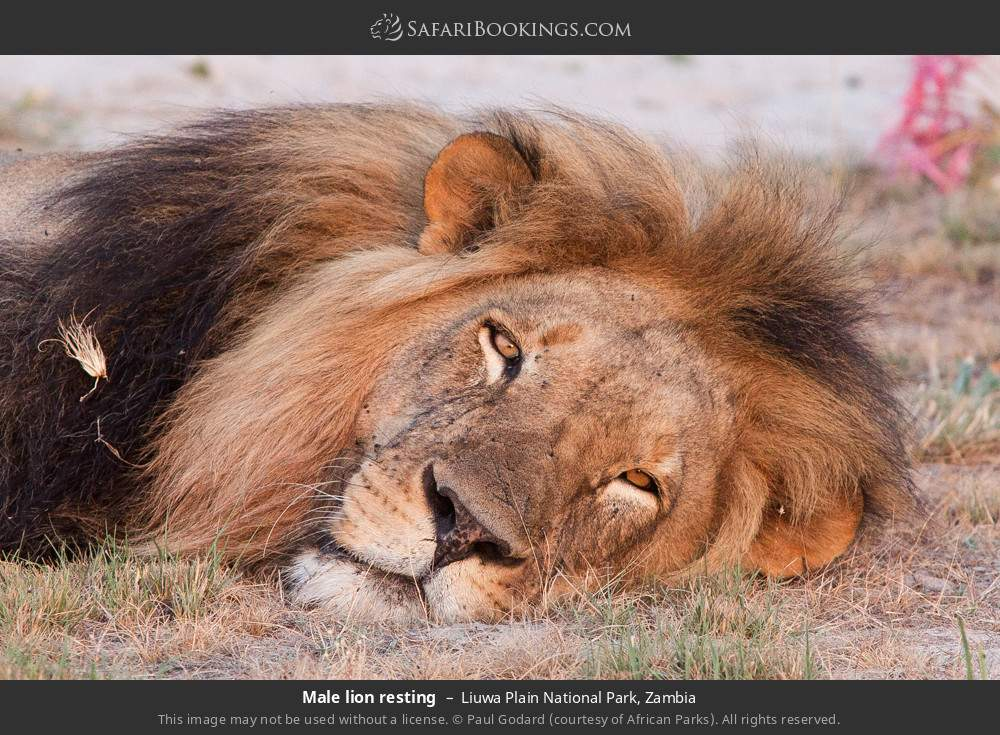Male lion resting in Liuwa Plain National Park, Zambia