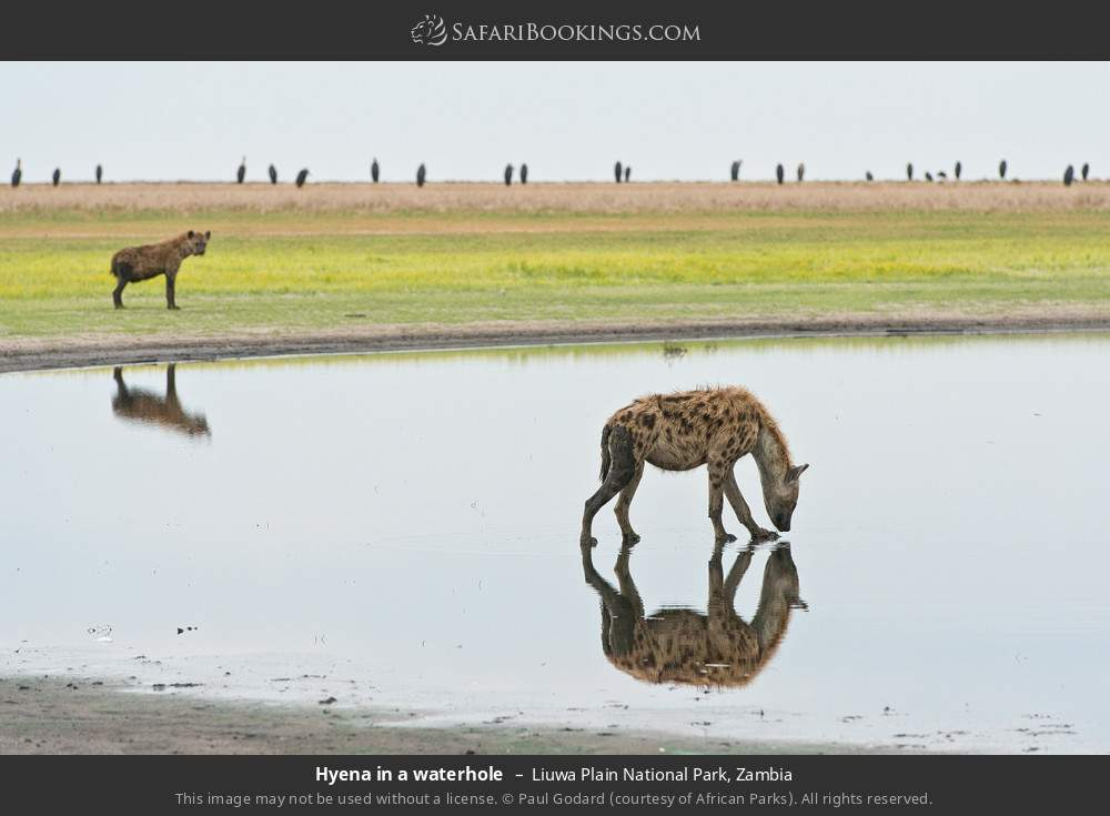 Hyena in a waterhole in Liuwa Plain National Park, Zambia