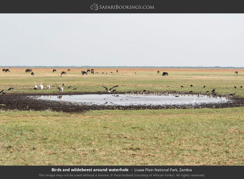 Birds & wildebeest around waterhole in Liuwa Plain National Park, Zambia