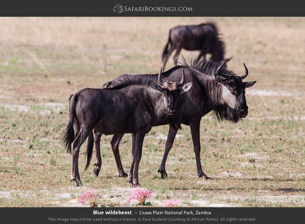 Blue wildebeest in Liuwa Plain National Park, Zambia