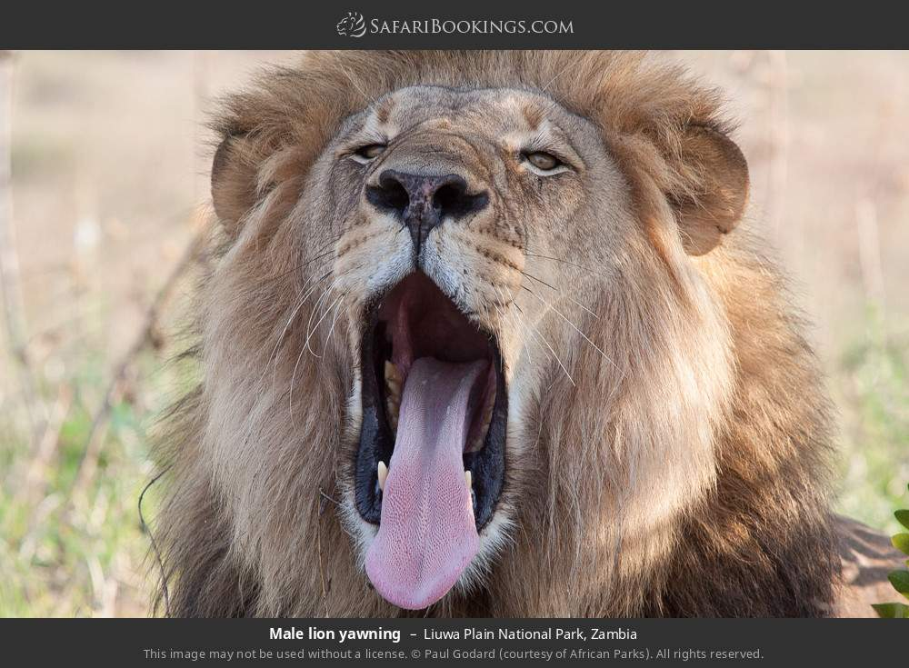 Male lion yawning in Liuwa Plain National Park, Zambia