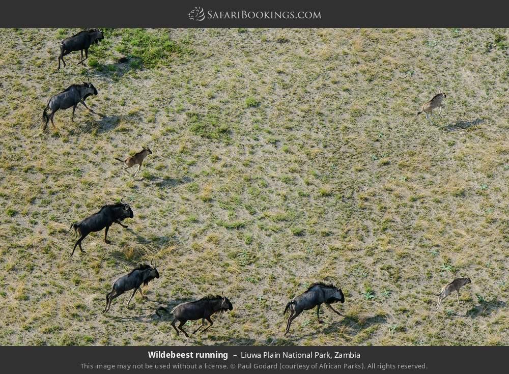 Wildebeest running in Liuwa Plain National Park, Zambia