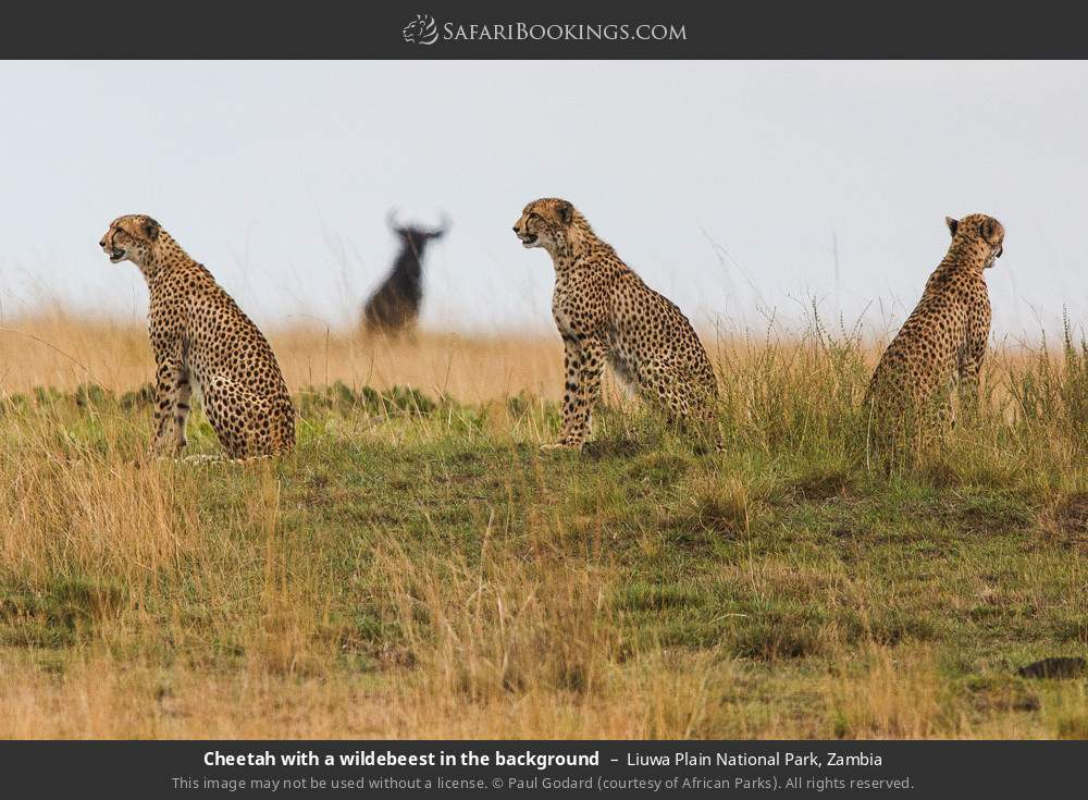 Cheetah with a wildebeest in the background in Liuwa Plain National Park, Zambia
