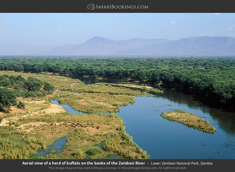 Aerial view of a herd of buffalo on the banks of the Zambezi River in Lower Zambezi National Park, Zambia
