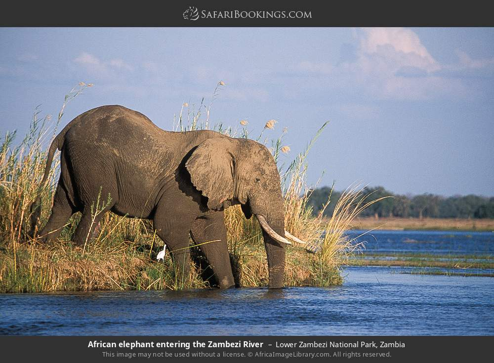 African elephant entering the Zambezi River in Lower Zambezi National Park, Zambia
