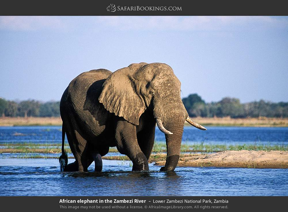African elephant in the Zambezi River in Lower Zambezi National Park, Zambia