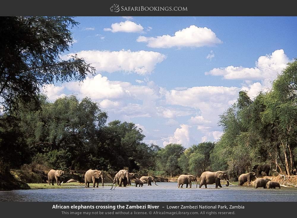 African elephants crossing the Zambezi River in Lower Zambezi National Park, Zambia