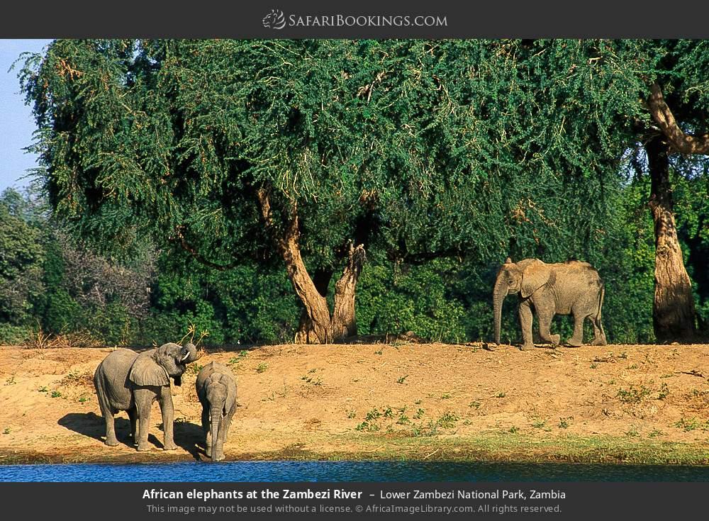 African elephants at the Zambezi River in Lower Zambezi National Park, Zambia