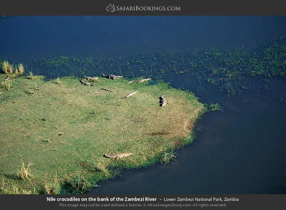 Nile crocodiles on the bank of the Zambezi River in Lower Zambezi National Park, Zambia