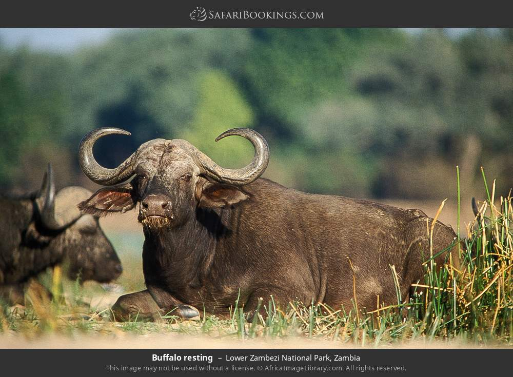 Buffalo resting in Lower Zambezi National Park, Zambia