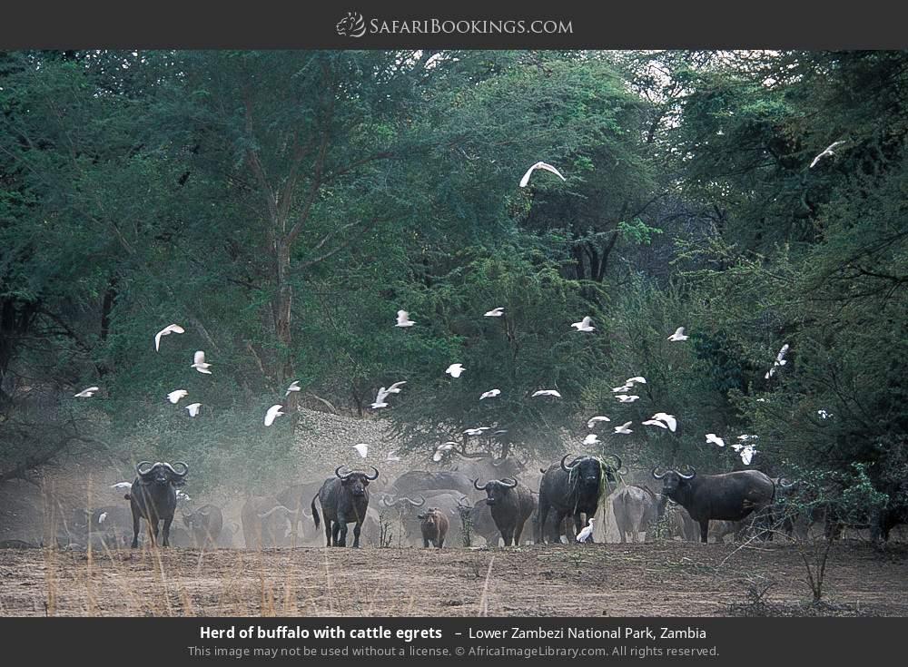 Herd of buffalo with cattle egrets  in Lower Zambezi National Park, Zambia