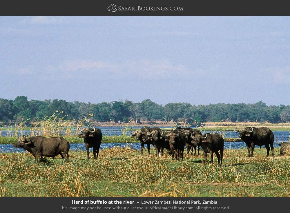 Herd of buffalo at the river in Lower Zambezi National Park, Zambia
