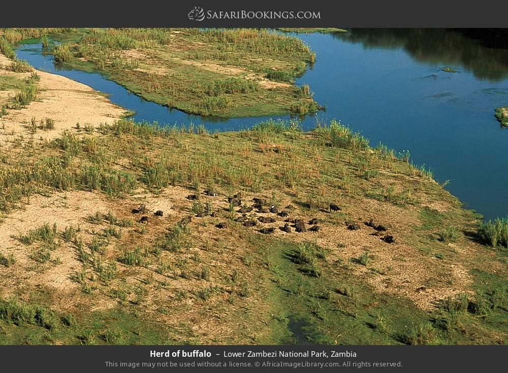 Herd of buffalo in Lower Zambezi National Park, Zambia