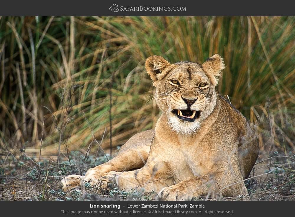 Lion snarling in Lower Zambezi National Park, Zambia