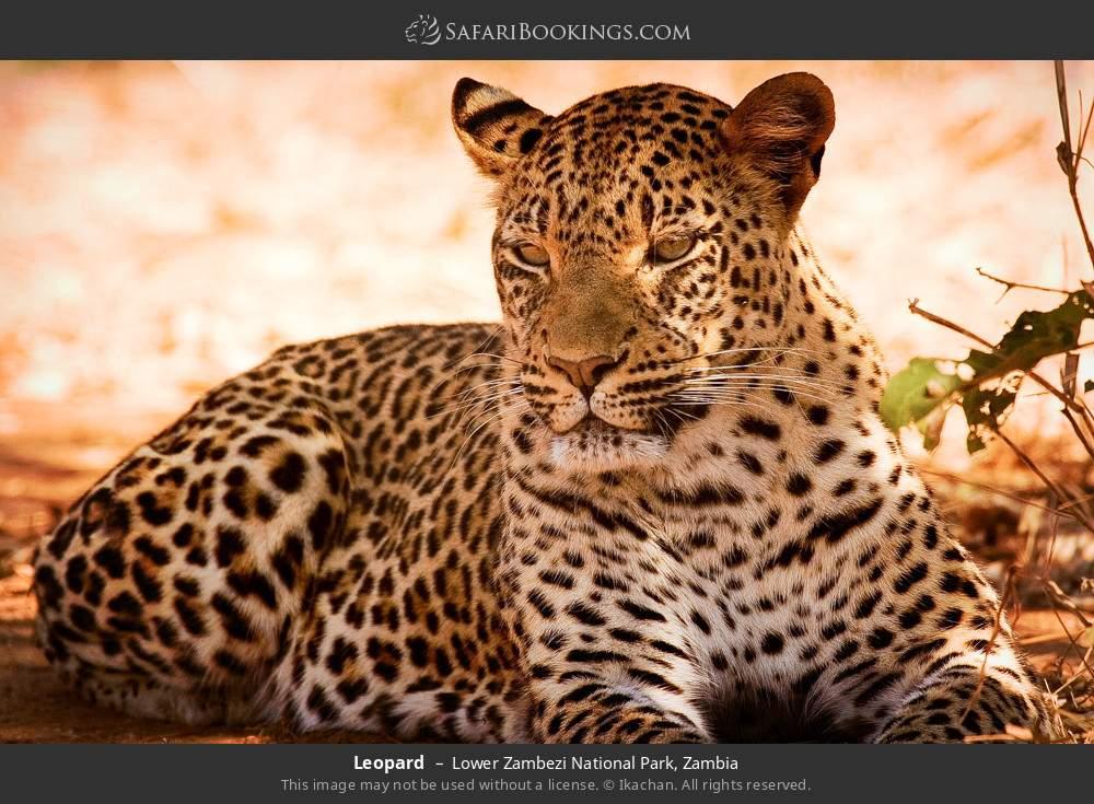 Leopard in Lower Zambezi National Park, Zambia
