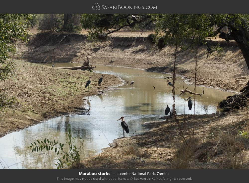Marabou storks in Luambe National Park, Zambia