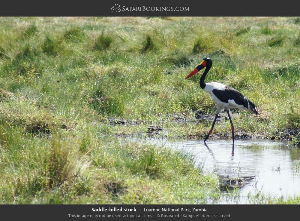 Saddle-billed stork in Luambe National Park, Zambia