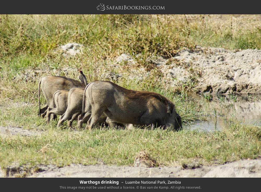 Warthogs drinking in Luambe National Park, Zambia