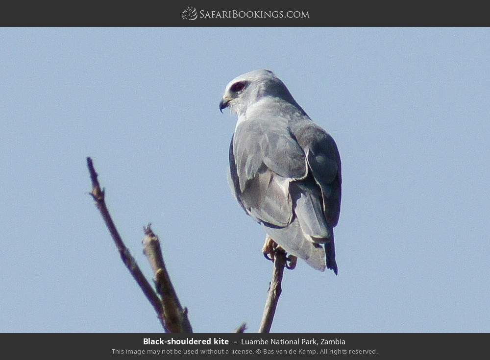 Black-shouldered kite in Luambe National Park, Zambia