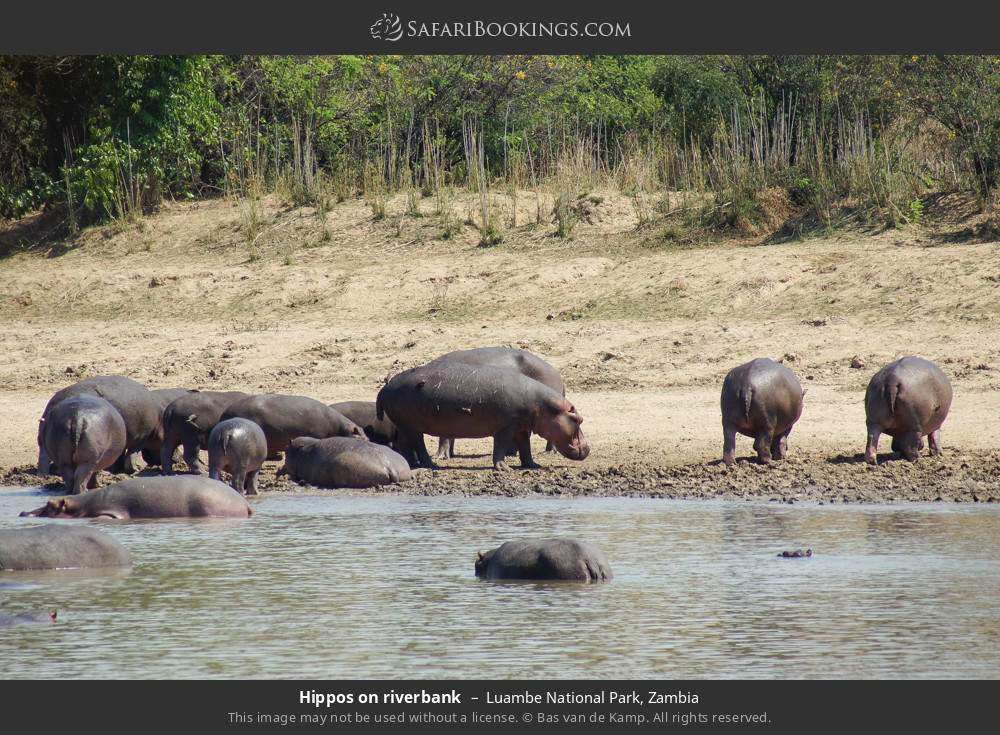 Hippos on riverbank in Luambe National Park, Zambia