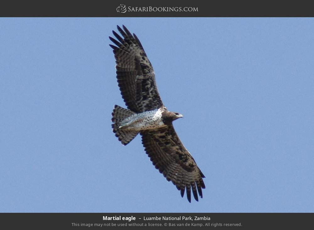 Martial eagle in Luambe National Park, Zambia