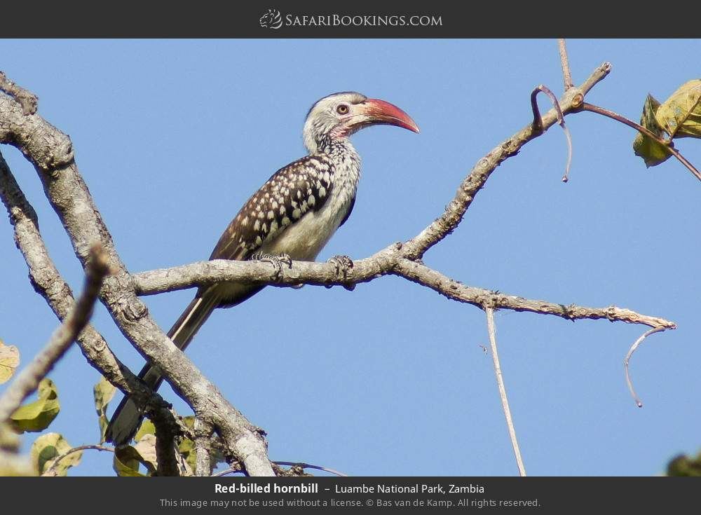 Red-billed hornbill in Luambe National Park, Zambia