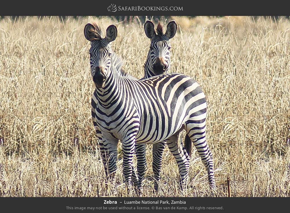 Zebra in Luambe National Park, Zambia