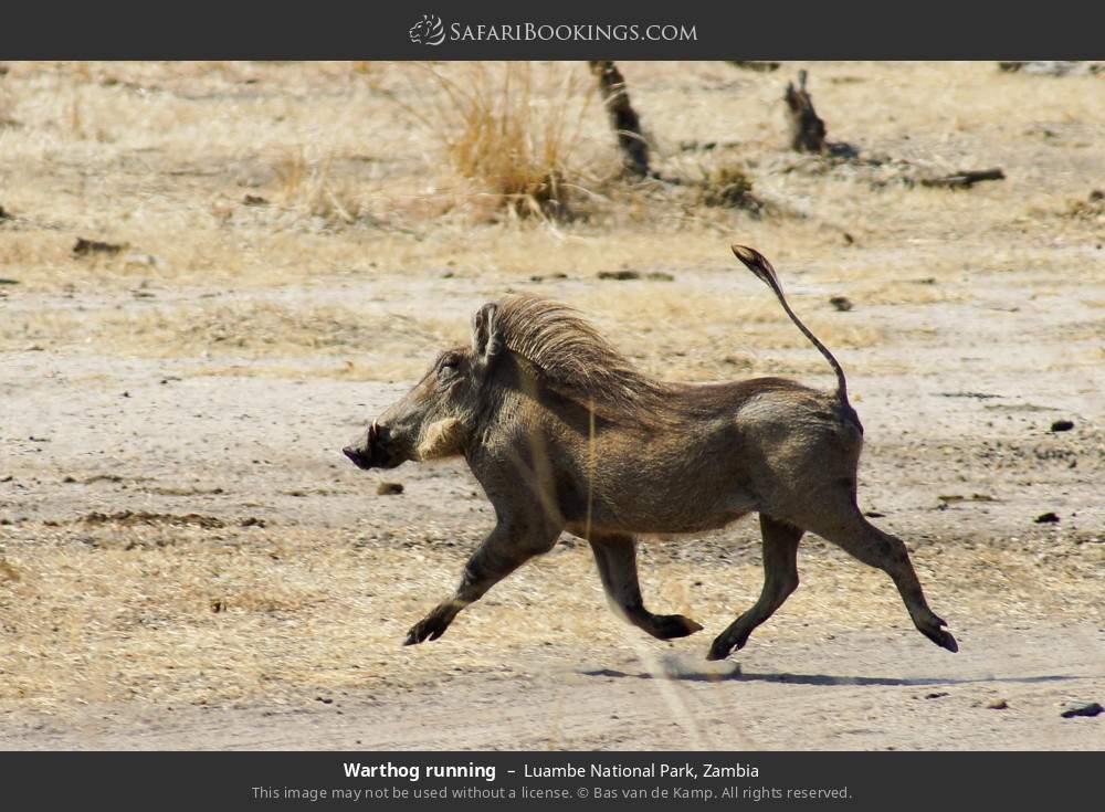 Warthog running in Luambe National Park, Zambia