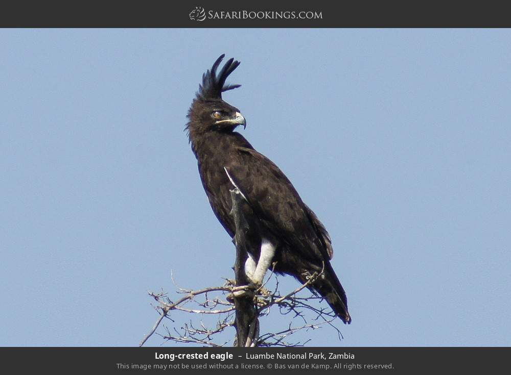 Long-crested eagle in Luambe National Park, Zambia
