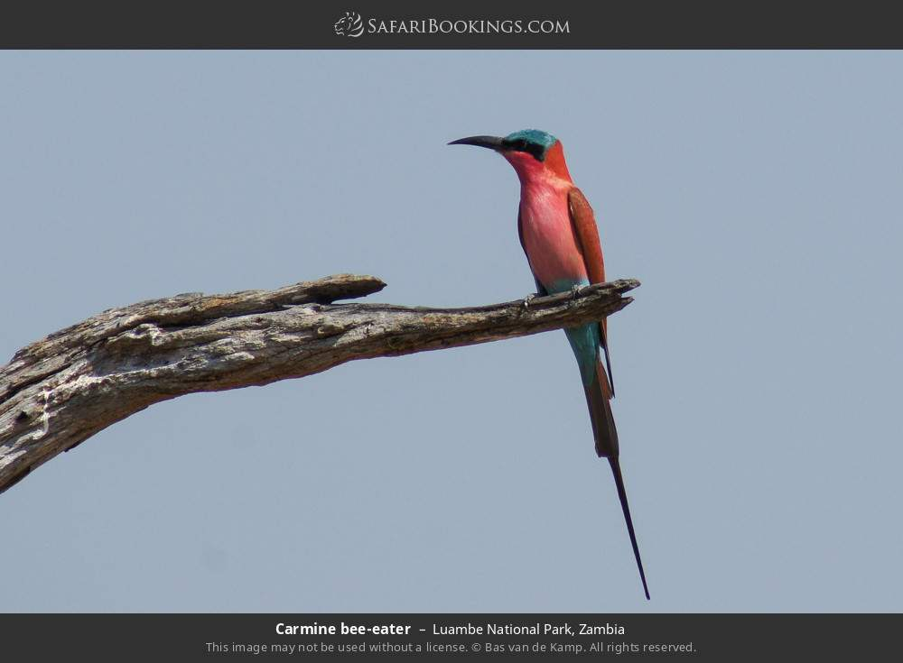 Carmine bee-eater in Luambe National Park, Zambia