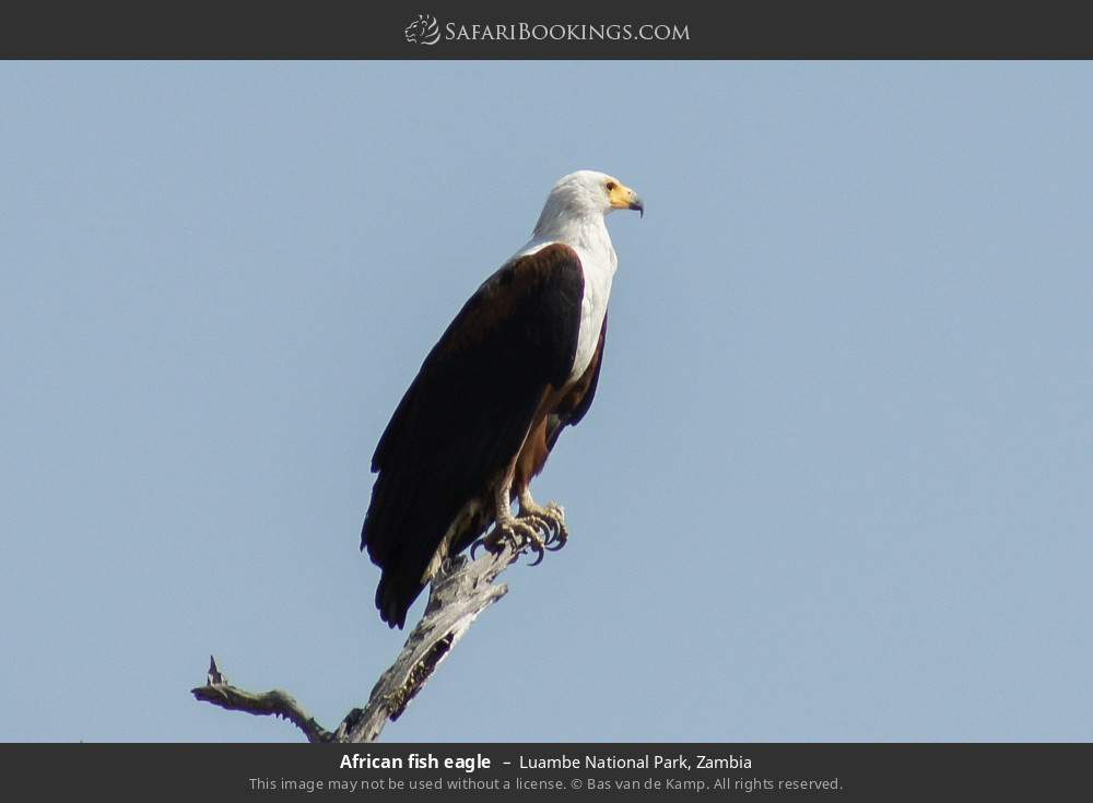 African fish eagle in Luambe National Park, Zambia