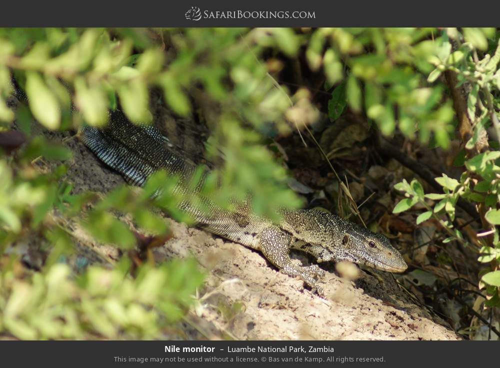 Nile monitor in Luambe National Park, Zambia