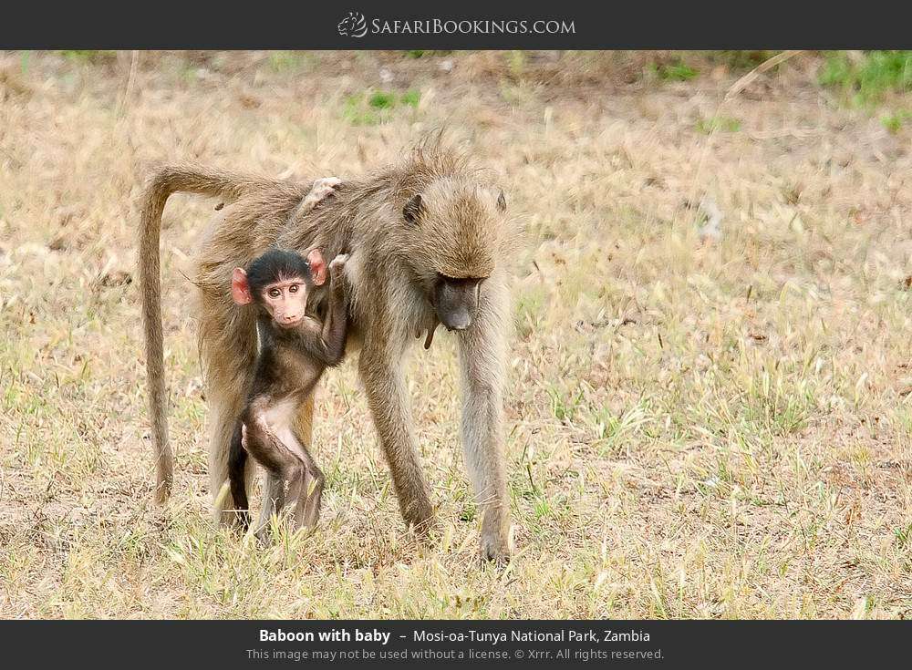 Baboon with baby in Mosi-oa-Tunya National Park, Zambia