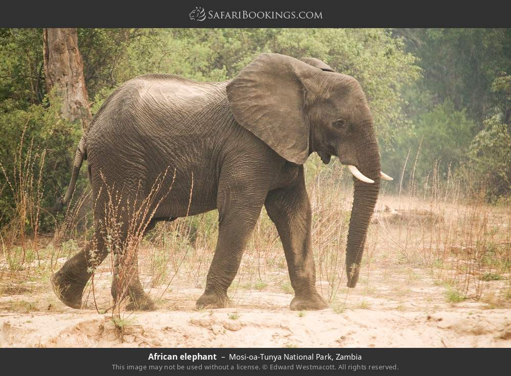 African elephant in Mosi-oa-Tunya National Park, Zambia