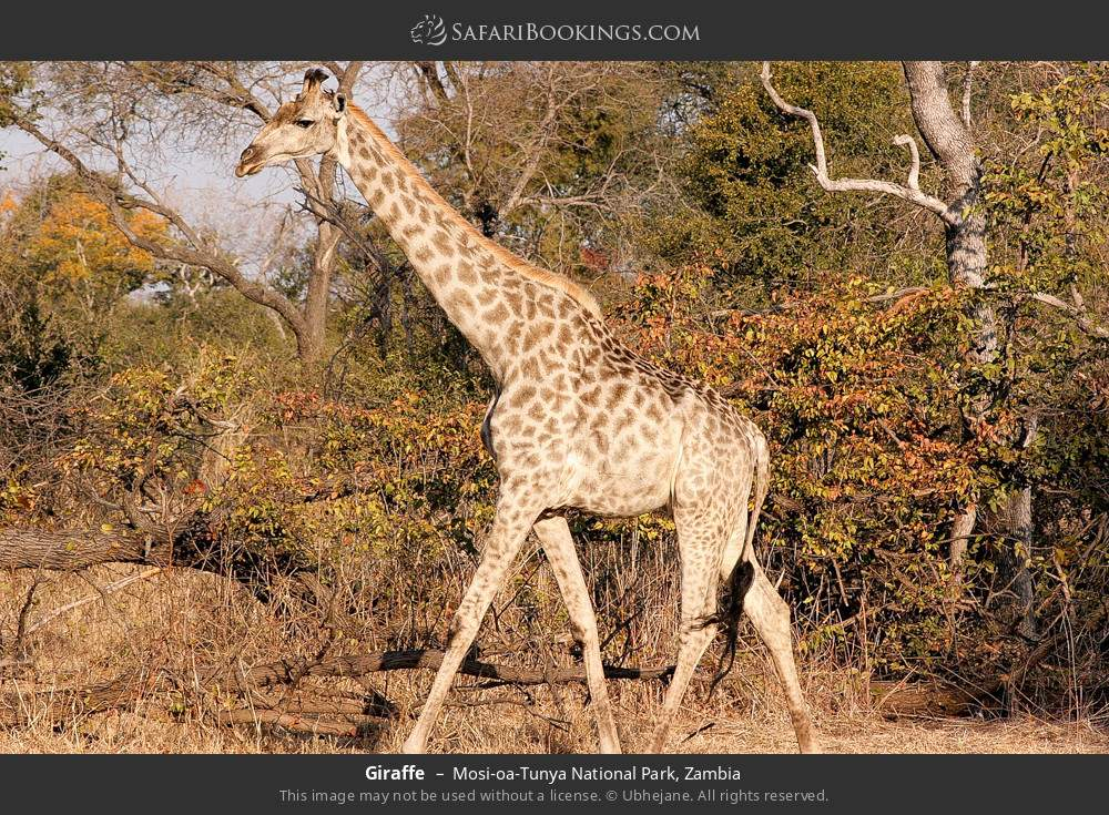 Giraffe in Mosi-oa-Tunya National Park, Zambia