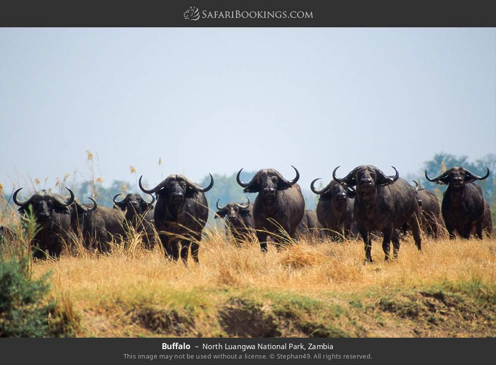 Buffalo in North Luangwa National Park, Zambia