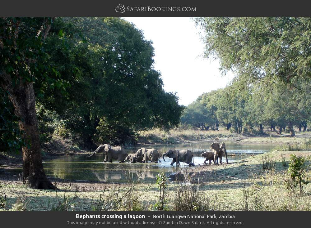 Elephants crossing a lagoon in North Luangwa National Park, Zambia
