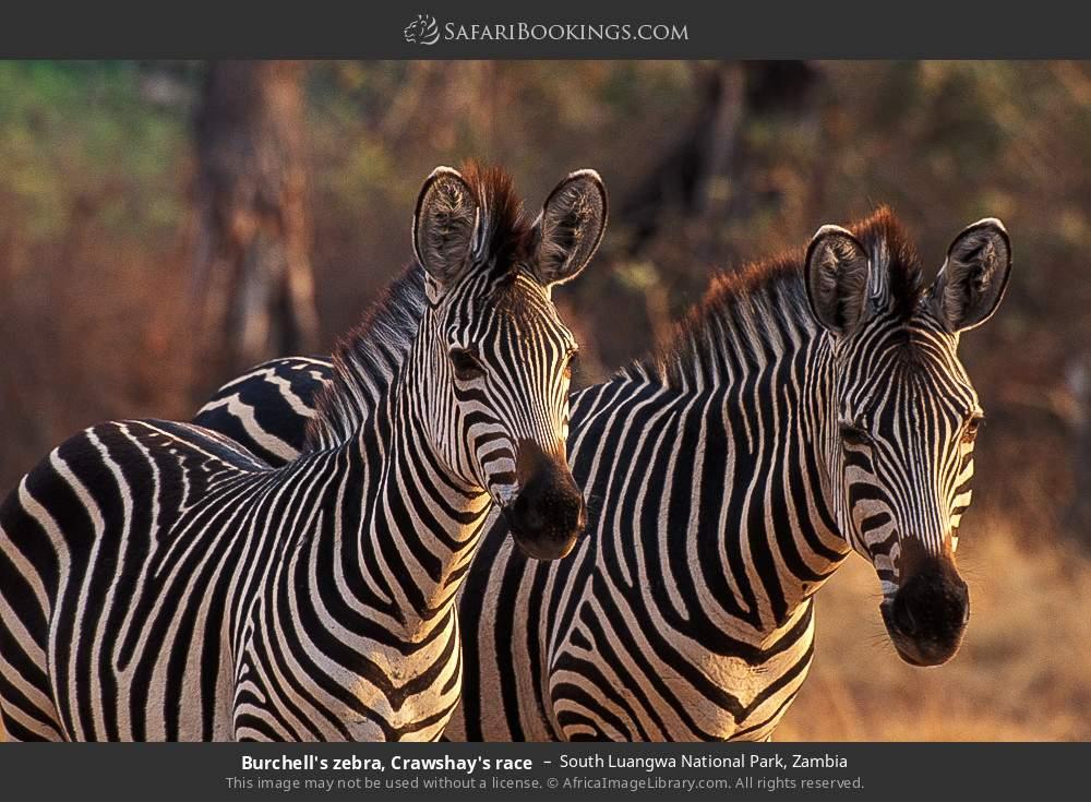 Burchell's zebra, Crawshay's race in South Luangwa National Park, Zambia