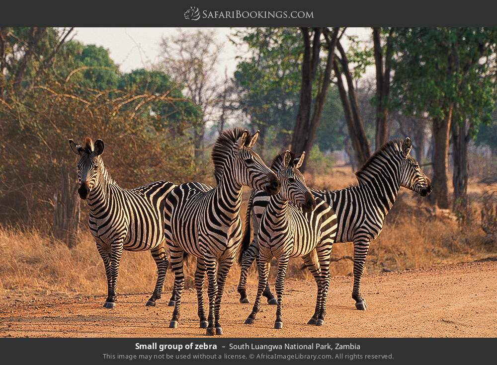 Small group of zebra in South Luangwa National Park, Zambia