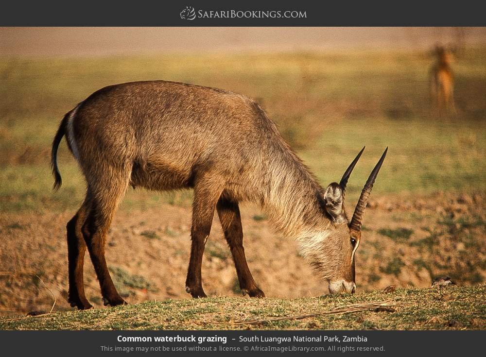 Common waterbuck grazing in South Luangwa National Park, Zambia