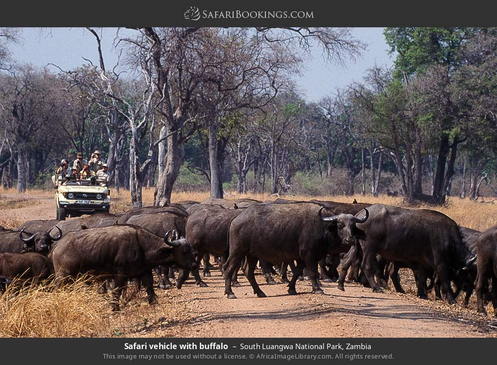 Safari vehicle with buffalo in South Luangwa National Park, Zambia
