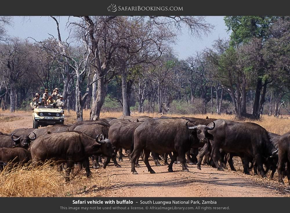 Safari vehicle with buffalo in South Luangwa National Park, Zambia