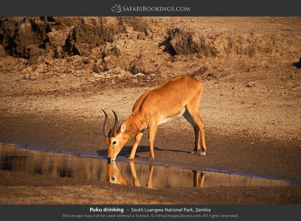 Puku drinking in South Luangwa National Park, Zambia
