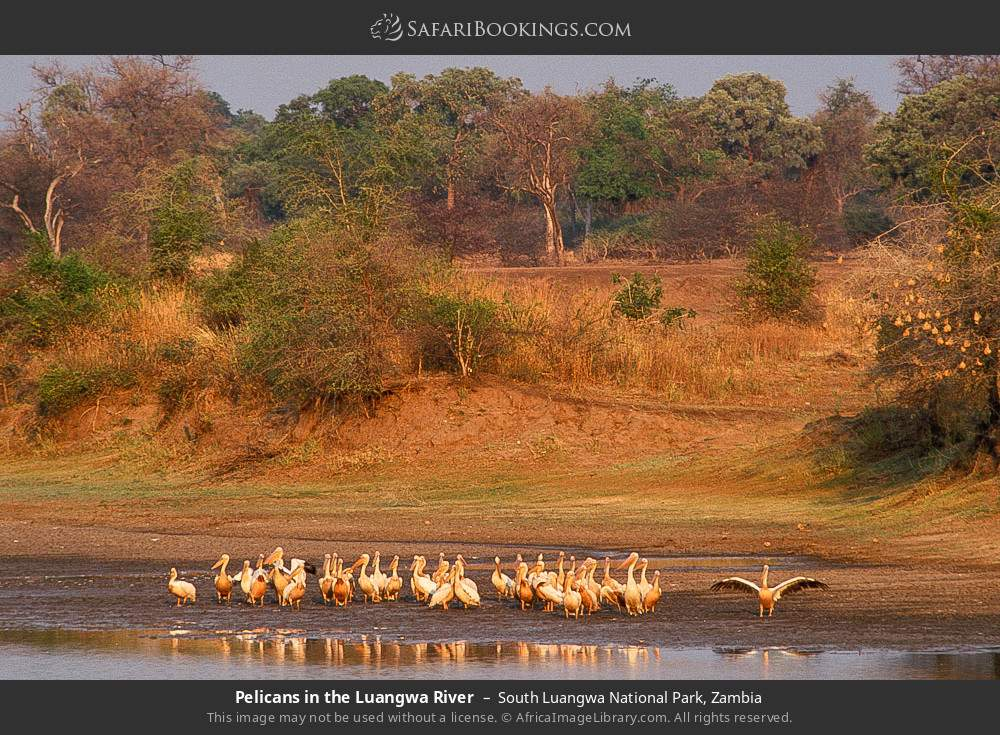 Pelicans in the Luangwa River in South Luangwa National Park, Zambia