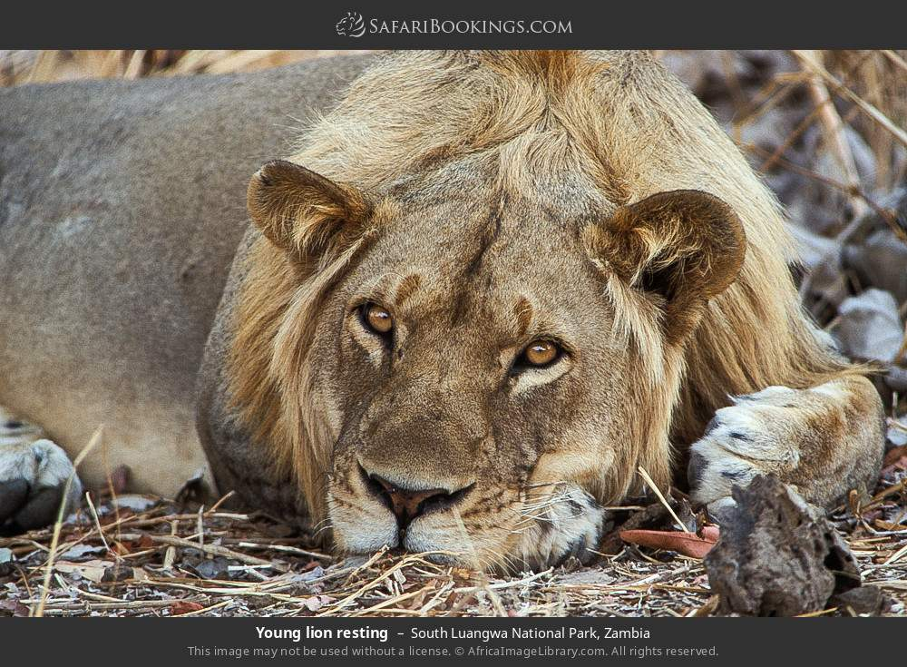 Young lion resting in South Luangwa National Park, Zambia