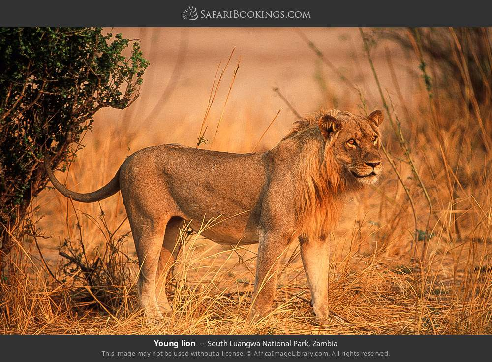 Young lion in South Luangwa National Park, Zambia