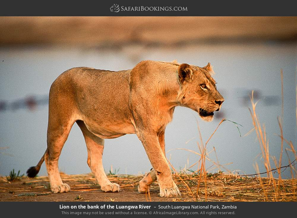 Lion on the bank of the Luangwa River in South Luangwa National Park, Zambia