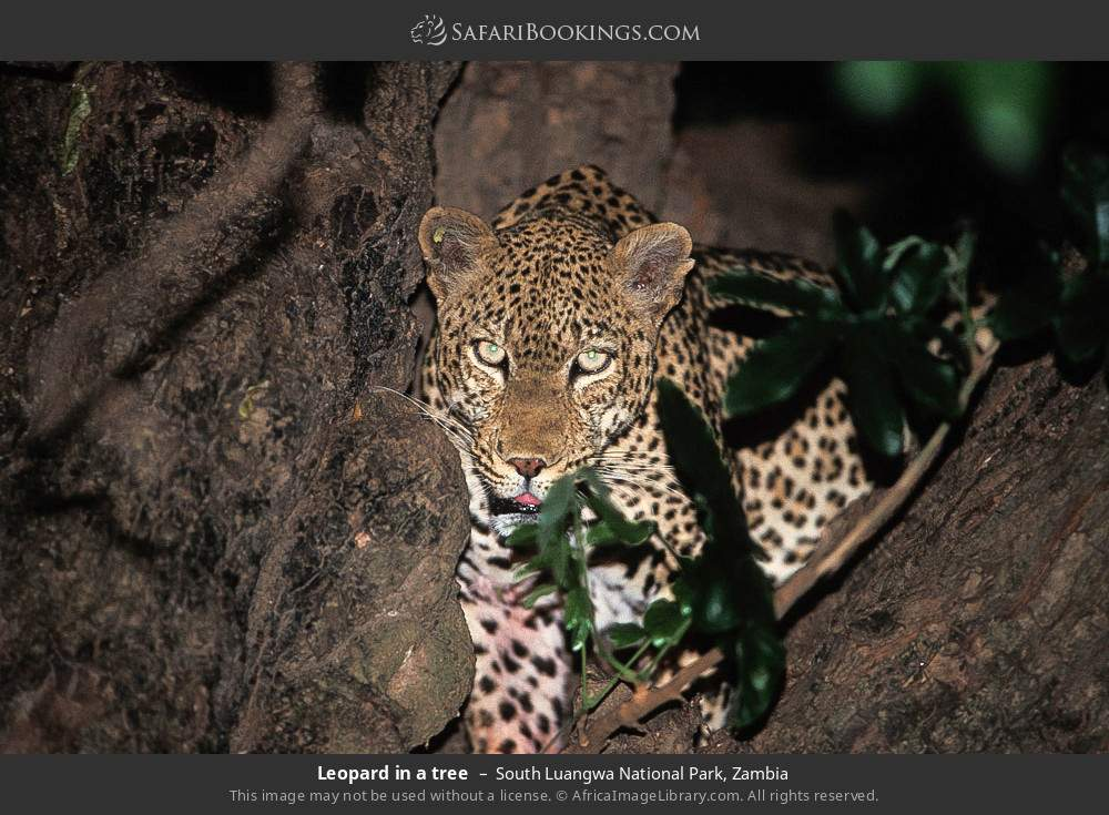 Leopard in a tree in South Luangwa National Park, Zambia
