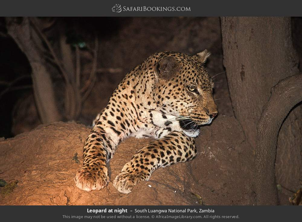 Leopard at night in South Luangwa National Park, Zambia