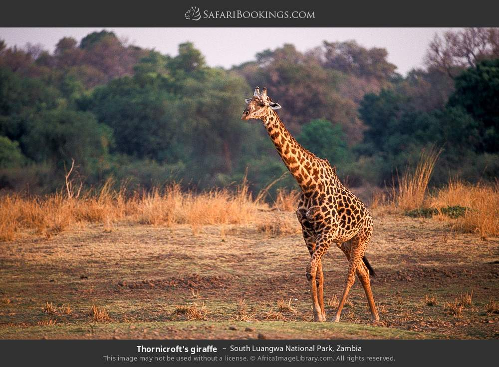 Thornicroft's giraffe in South Luangwa National Park, Zambia